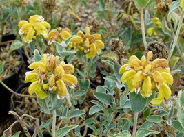 Phlomis fructicosa - Sauge de Jerusalem