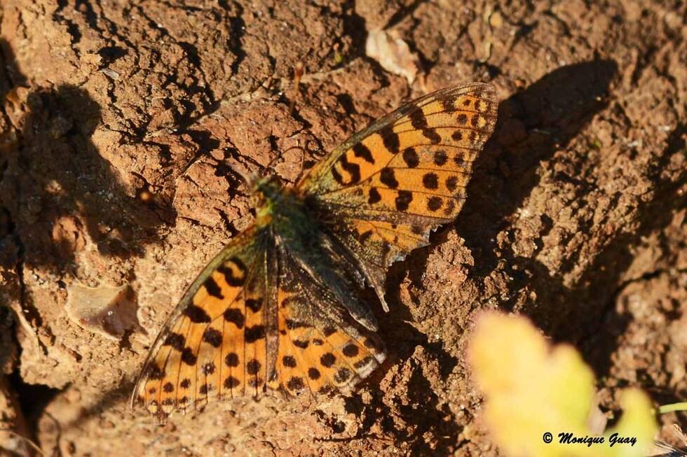 Papillon Chiffre ou Nacré niobé