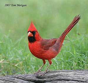 cardinal-rouge-male-sol