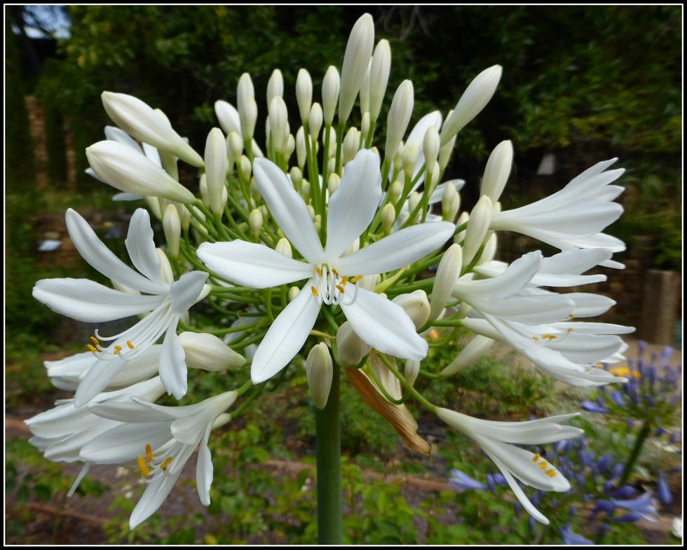 Quelques fleurs du jardin de L'abbaye de Fontfroide.....