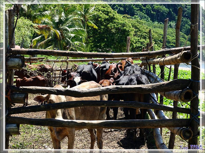 Plage aux zébus - Nosy Be - Madagascar