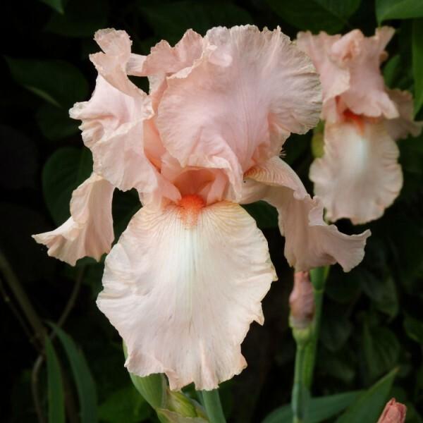 iris-de-jardin-Flamant-Rose---juin-2013.jpg