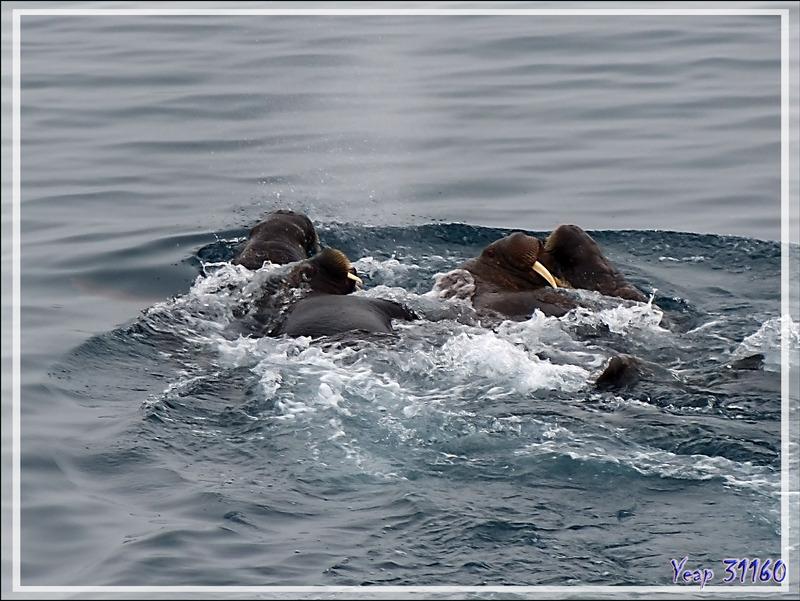 La fuite des Morses, Walrus (Odobenus rosmarus) - Mer des Tchouktches - Alaska