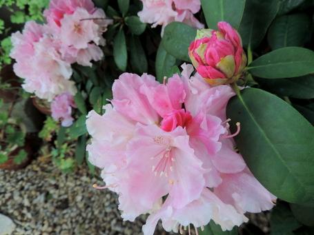 Pivoine et Rhodo : la vie en rose....