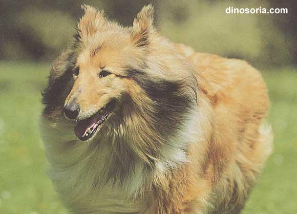 Races de chiens:  Colley