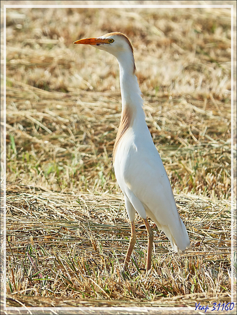 Héron garde-boeufs (plumage nuptial), Western Cattle Egret (Bubulcus ibis) - Loix - Ile de Ré - 17