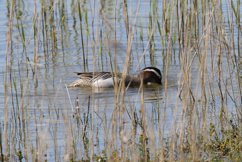 Sarcelle d'Eté (Garganey)