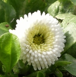 La photo du moment...bellis perennis