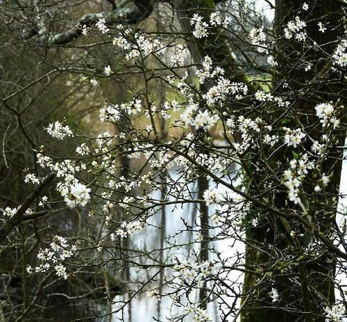 Epine noire en fleur
