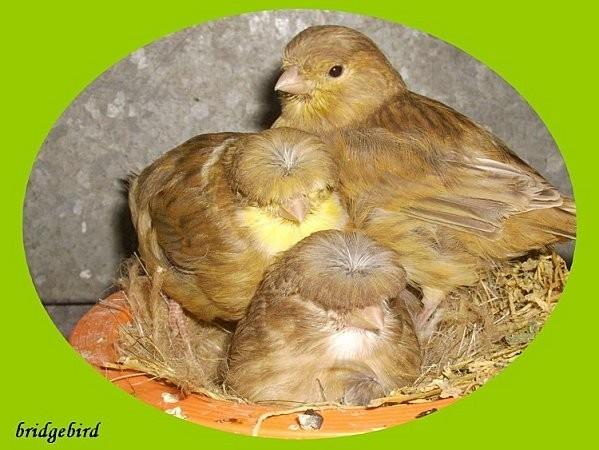 Glosters au nid