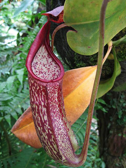 Nepenthes Maxima. Plante carnivore odorante