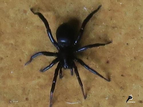 Zelotus sp (Zelotinae)
