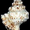 Un autre escargot de mer