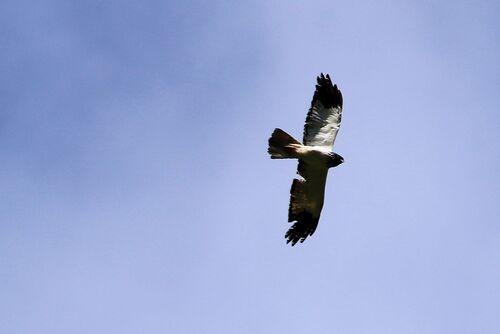 Busard de Maillard (Reunion Harrier)
