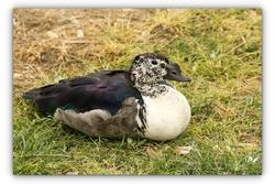 Canard à bosse - Sigean