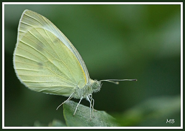 Insectes 01 0962