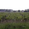 Le vignoble de Chinon