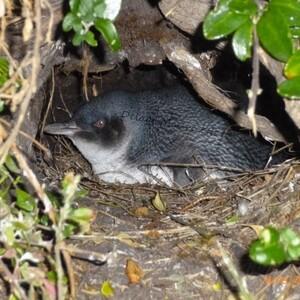 Bébé Pingouin - Tasmanie - 16 Décembre 2013