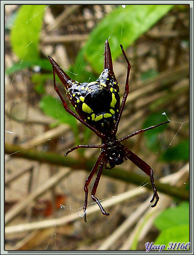 Blog de images-du-pays-des-ours : Images du Pays des Ours (et d'ailleurs ...), Araignée cornue, épineuse, arrow-shaped spider recto/verso, Isla Bastimentos, Bocas Del Toro, Panama