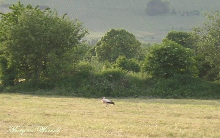 Cigognes dans les prés de Ribeauvillé