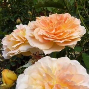 roseraie-david-austin-morienval---molineux--800x800-.jpg