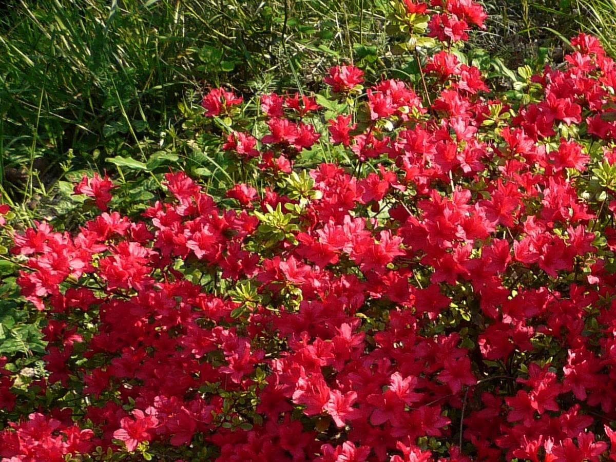 Azal es azalea le temps des fleurs - Plante retombante feuillage persistant ...
