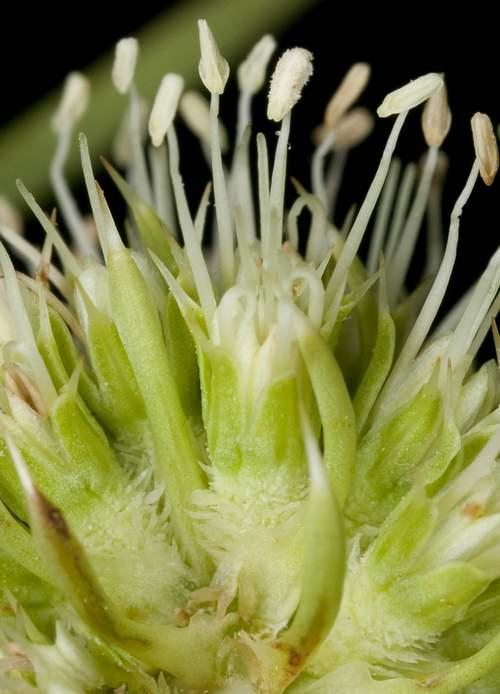 Vertus médicinales des plantes sauvages : Panicaut