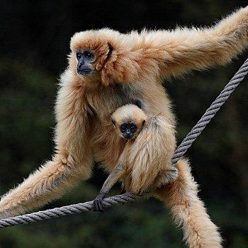 gibbon à favoris roux et sa maman.