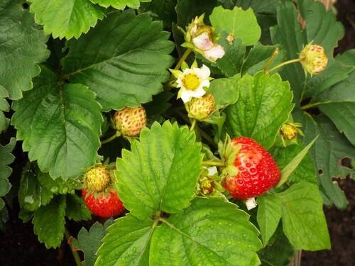 La fraise dans ... l'Histoire ......