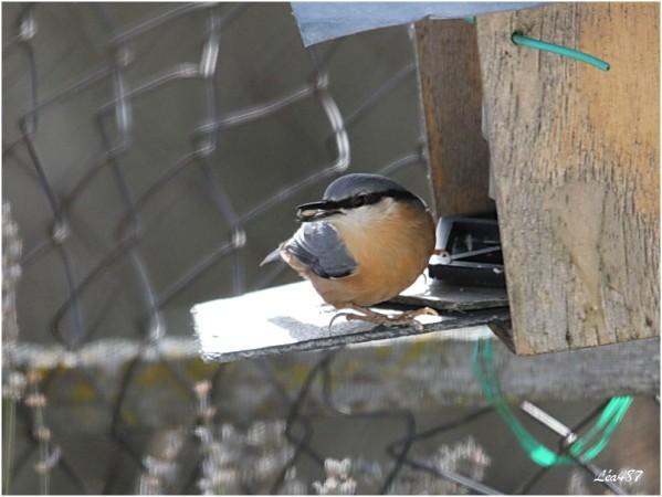 Oiseaux-3-3602-sitelle.jpg