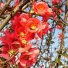 galerie-membre,fleur-cognassier-du-japon,fleurs-rouges1.jpg