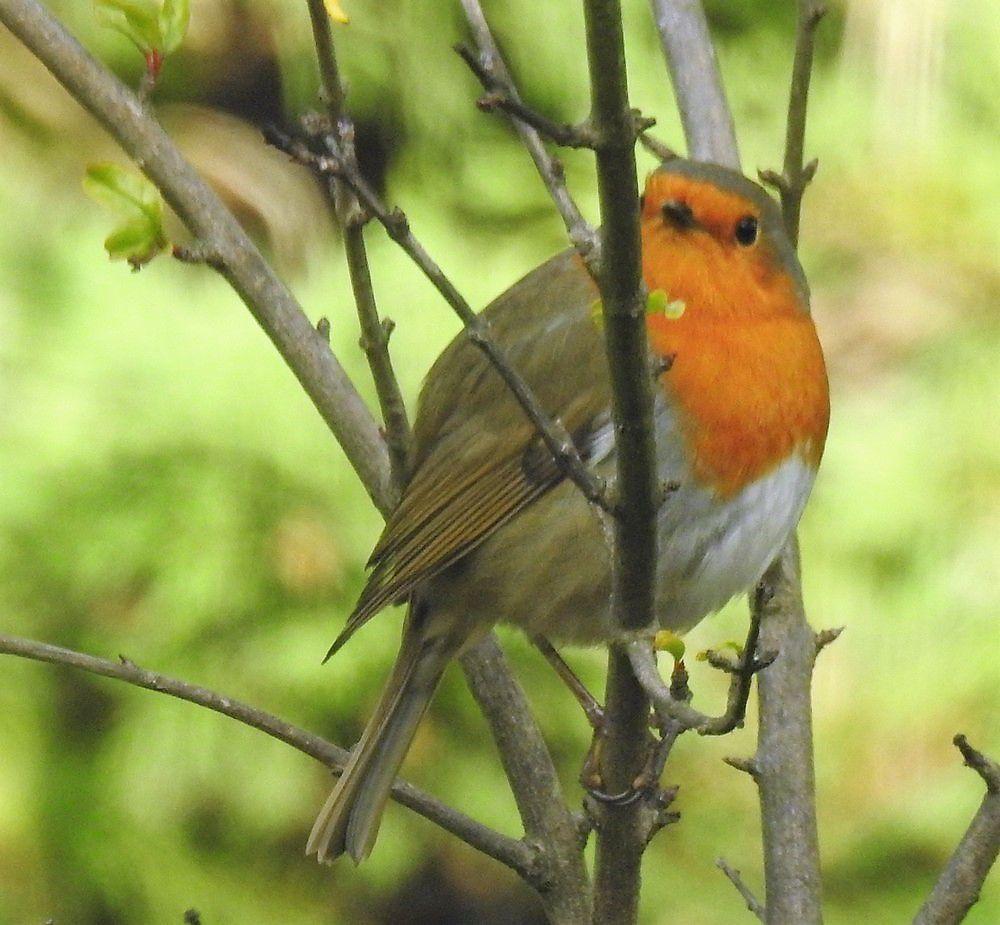 Les oiseaux du jardin : le rouge-gorge...