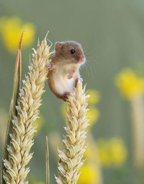 Les souris des moissons de Dean Mason