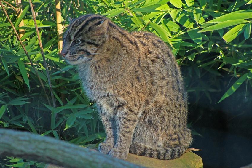 le chat des forêts