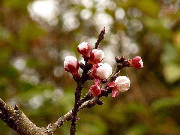 Fleurs abricotier 01
