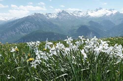 Vertus médicinales des plantes sauvages : Narcisse des prés