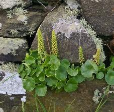 nombrils-de-venus-en-fleurs.jpg