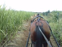 balades dans les champs de canne