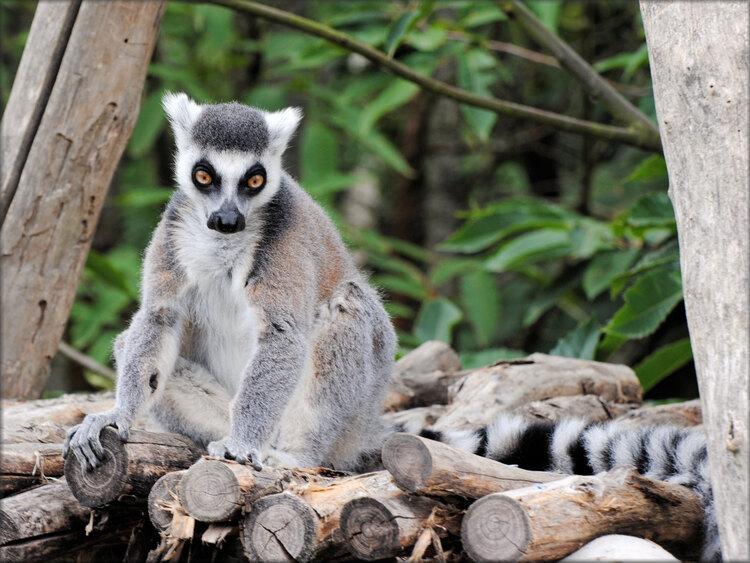 Photo de Vari Catta - Zoo de la Boissière du Doré