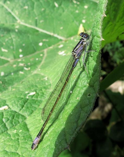 L'Ischnura elegans