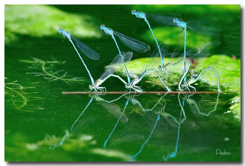 Le balet des libellules  -  L'agrion