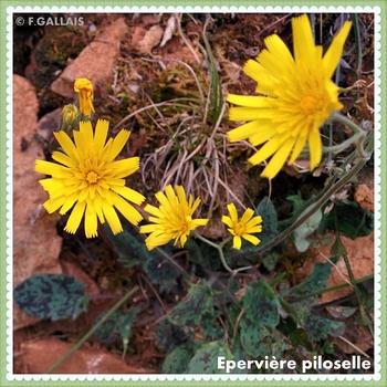 Epervière piloselle-Hieracium pilosella