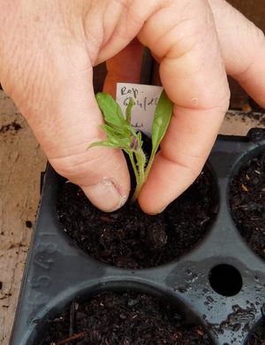 Repiquage de plants de tomates.