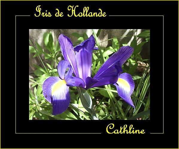 iris-de-hollande-bleu.jpg