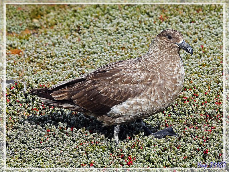 Labbe antarctique, Brown Skua (Stercorarius antarcticus) - Ship Harbour - New Island - Falkland (Malouines, Malvinas) - Grande-Bretagne