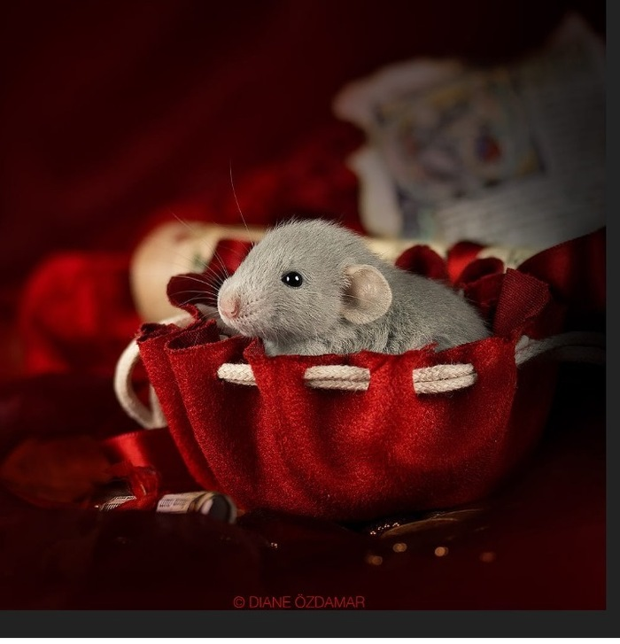 Le photographe passe des années à prendre d'adorables photos de rats