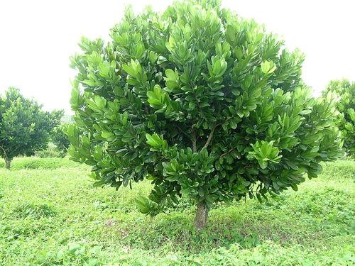 Abricot tropical...