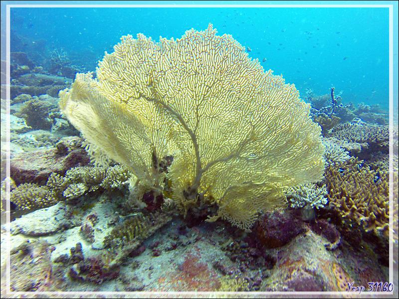 Gorgone géante de la mer Rouge ou éventail ou d'Hickson, Red sea giant seafan, Hickson's giant seafan (Annella mollis) - Nosy Mitsio - Madagascar