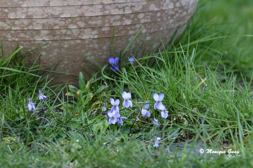 Douceur des violettes