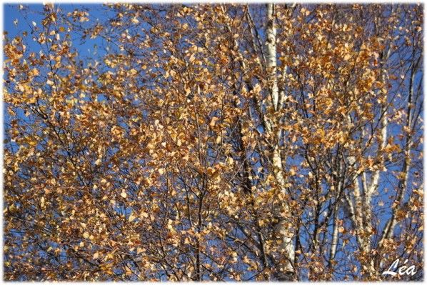 communaute-Tataray-7162-feuilles-arbre.jpg